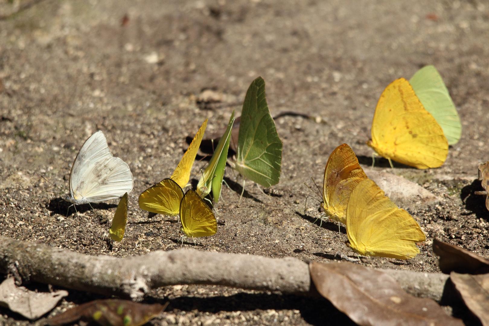 Schmetterlinge im Regenwald
