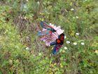 Schmetterlinge in Georgien