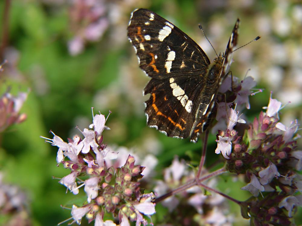 Schmetterlinge in meinem Garten: 17: Das Landkärtchen