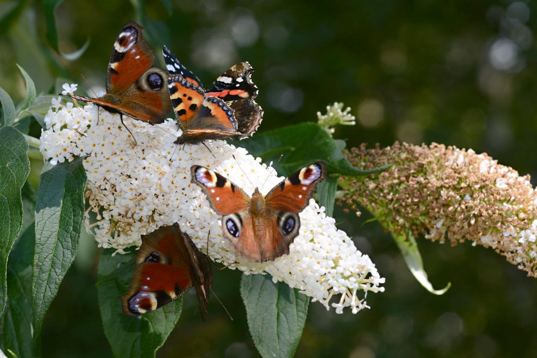 Schmetterlinge in meinem Garten: 4. Andrang auf der Buddleja: 5 Schmetterlinge