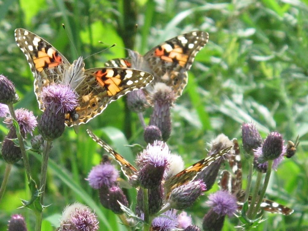 Schmetterlinge überall