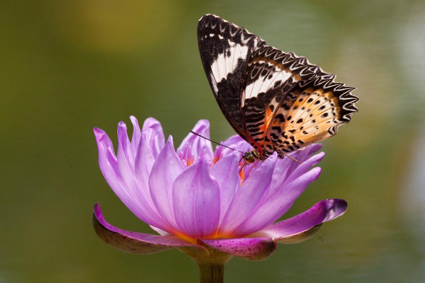 Schmetterlinge VI