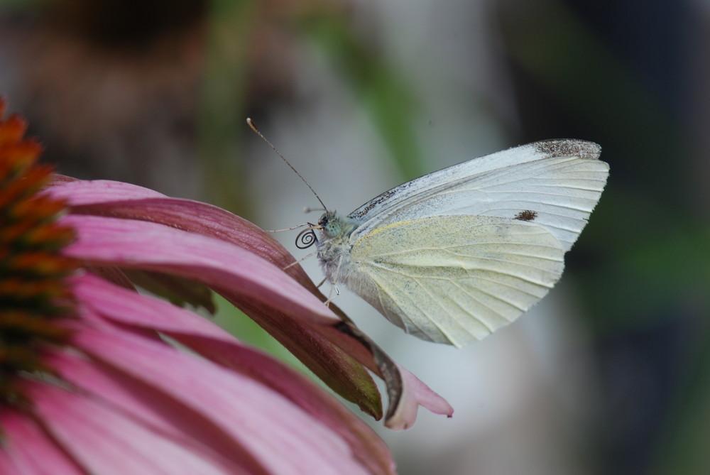 Schmetterlinge1