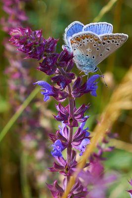 Schmetterlingenwiese #1