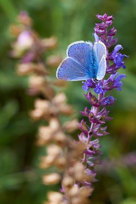 Schmetterlingenwiese #2