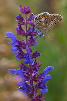 Schmetterlingenwiese #4