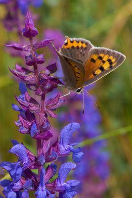 Schmetterlingenwiese #5