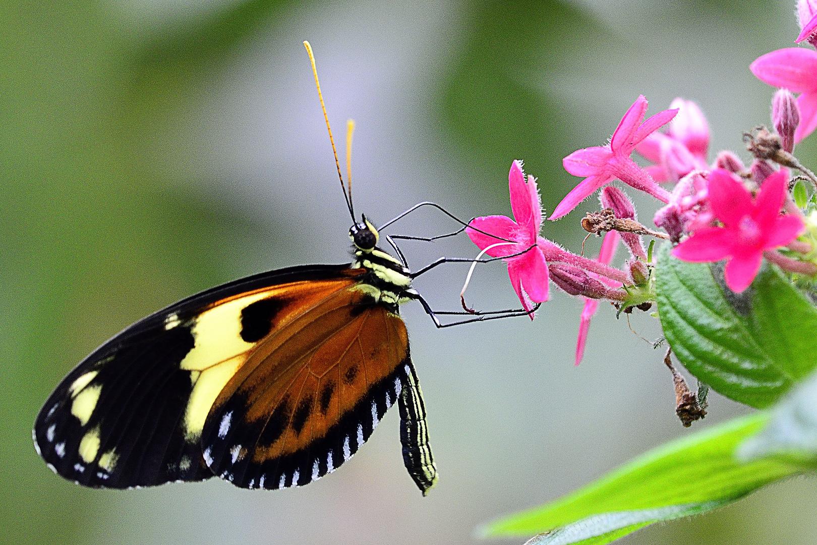 SchmetterlingII