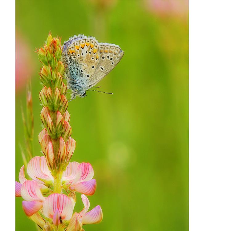 Schmetterlings ~ blütler