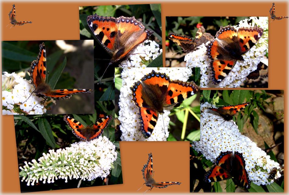 Schmetterlings-Collage