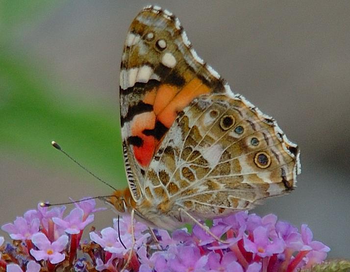 Schmetterlings Dinner
