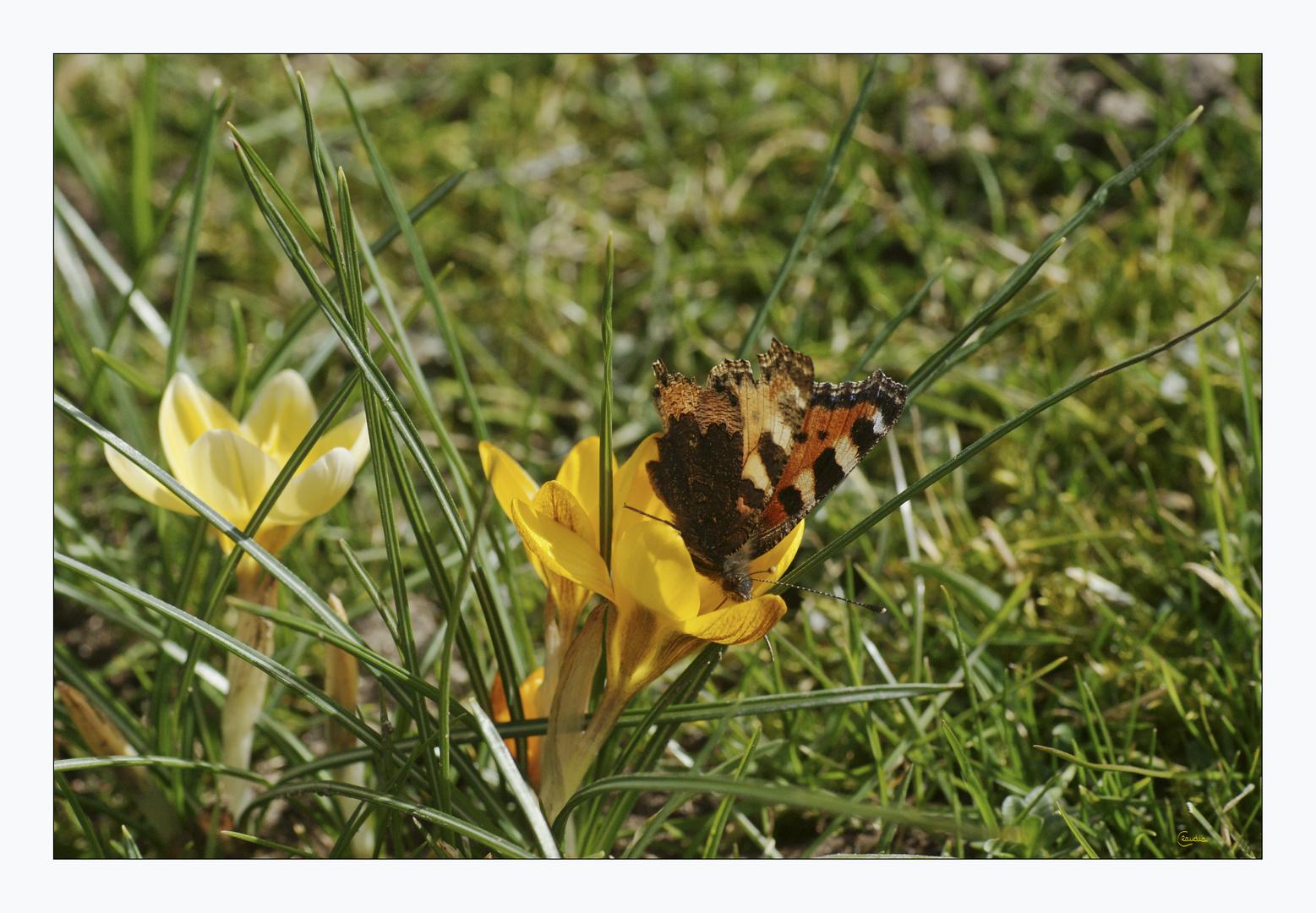 Schmetterlings-Frühlings-Appetit