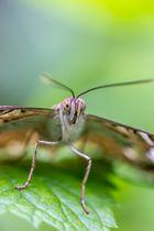 Schmetterlings Makro
