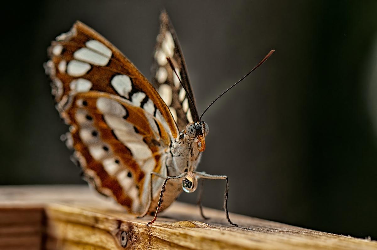 Schmetterlings Posing