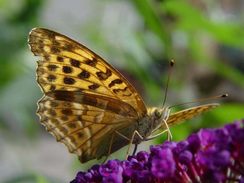 Schmetterlings - Veteran