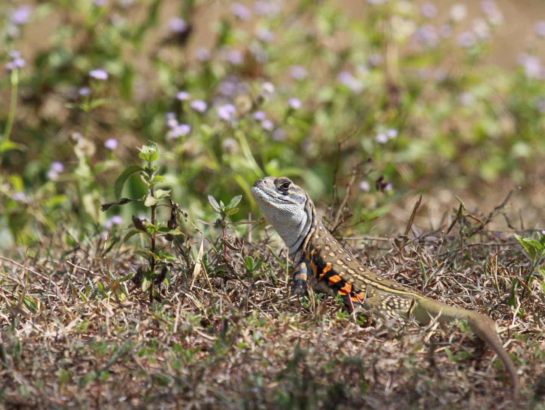 Schmetterlingsagame