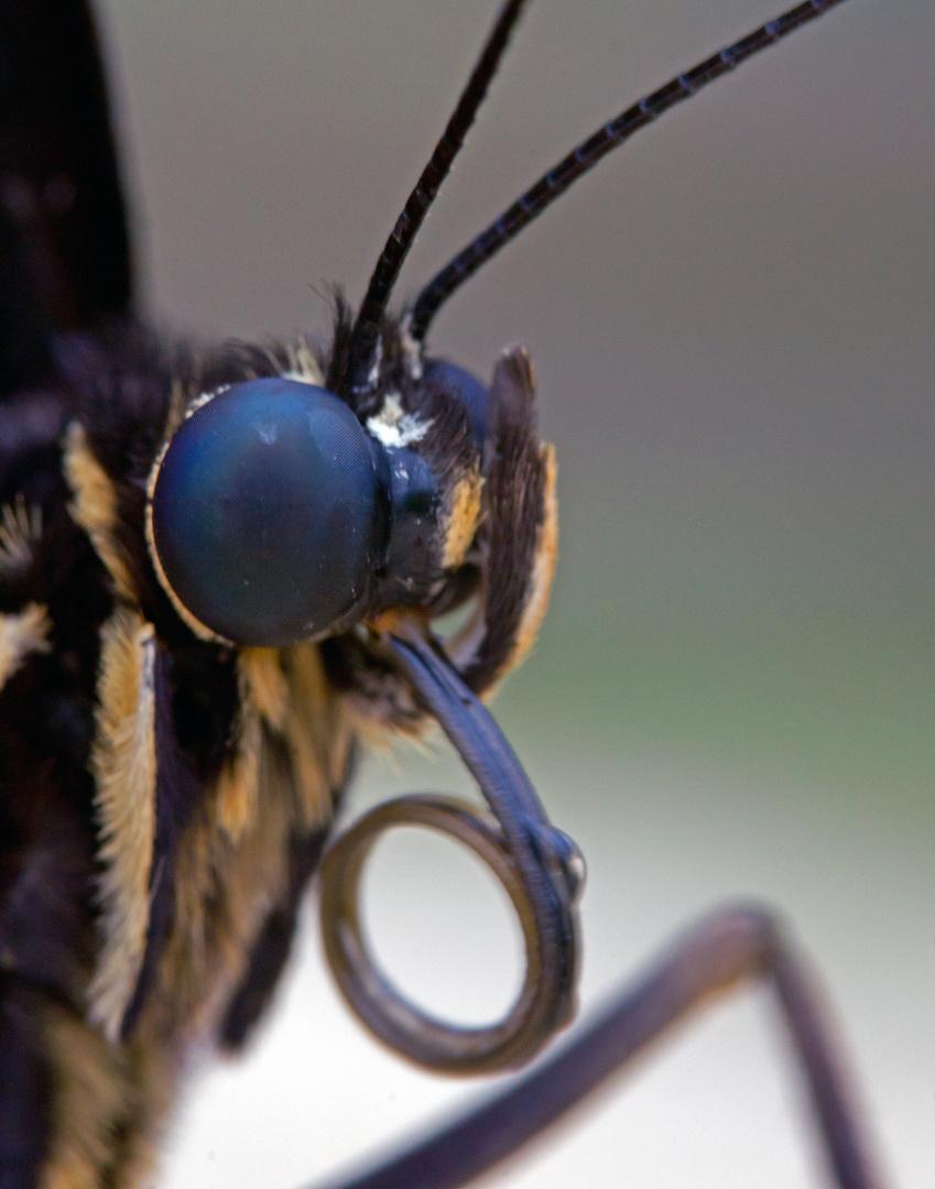 Schmetterlingsauge 1
