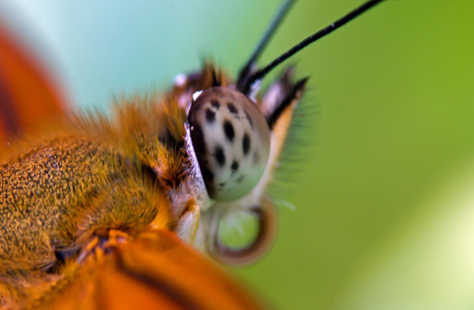 Schmetterlingsauge 2