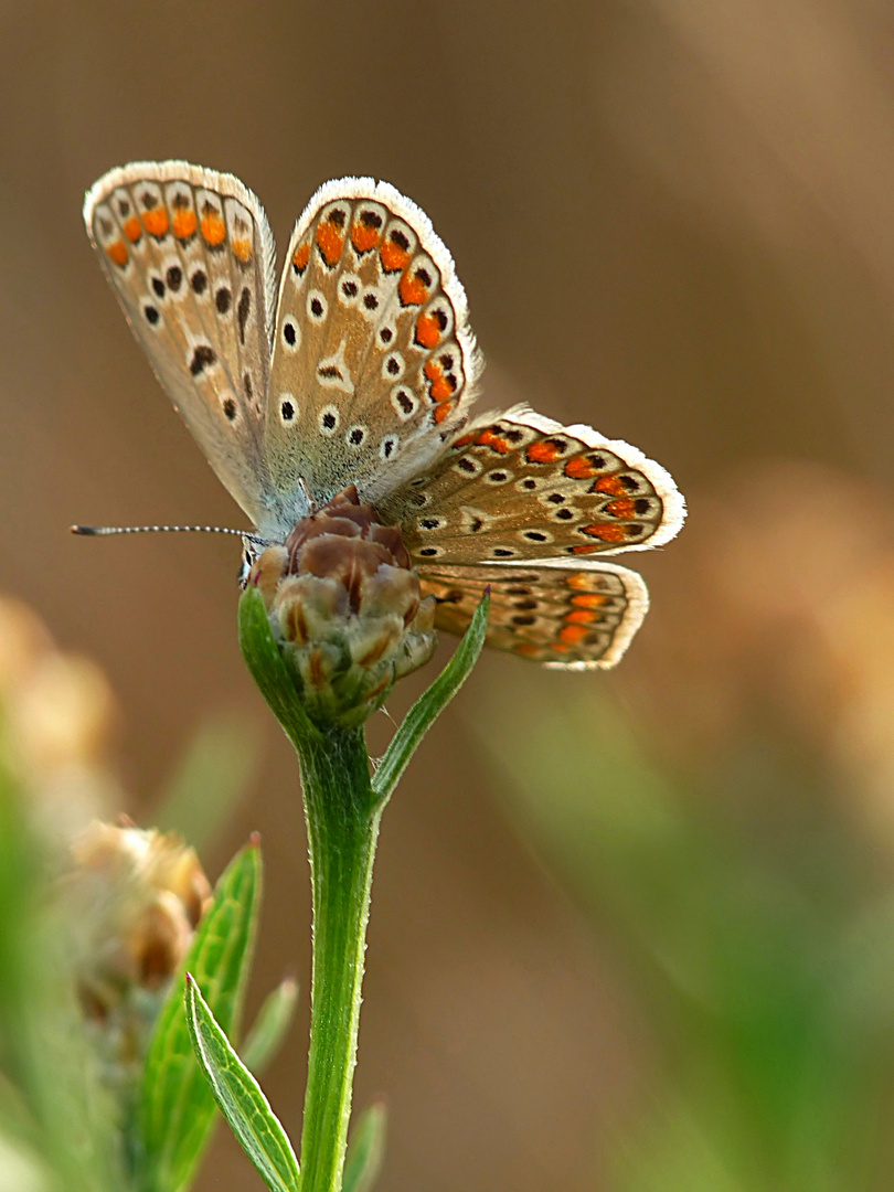 Schmetterlingsblümchen