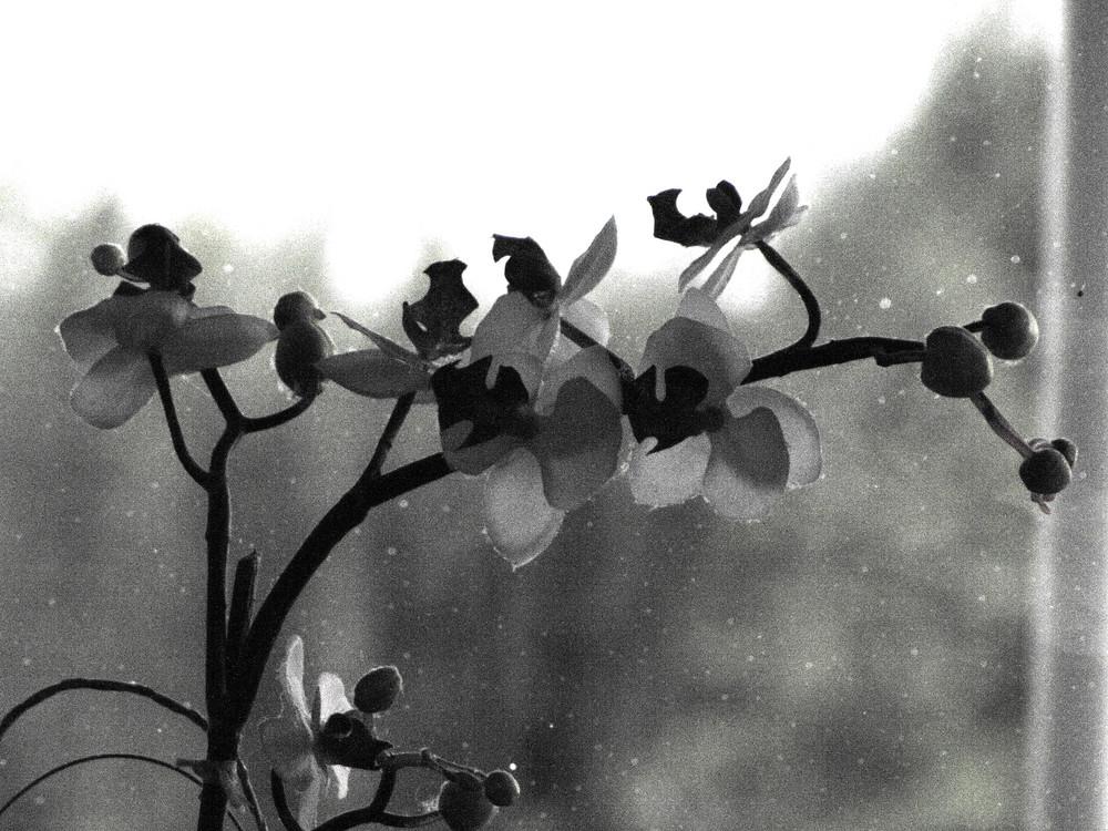 Schmetterlingsblume in Schwarzweiß