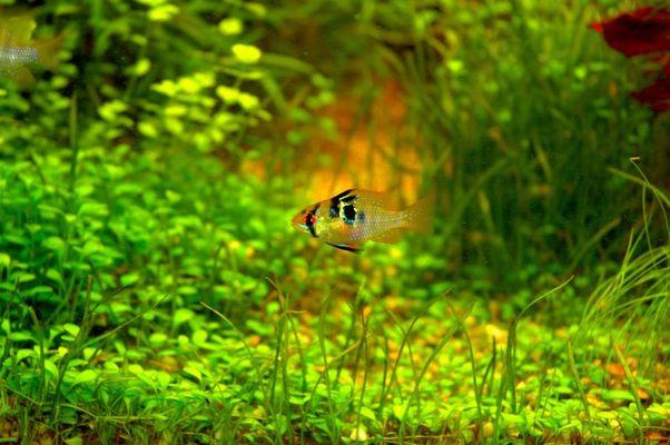 Schmetterlingsbuntbarsch