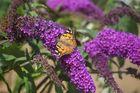 Schmetterlingsbusch