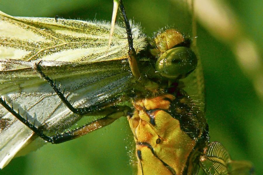 Schmetterlingsdrama