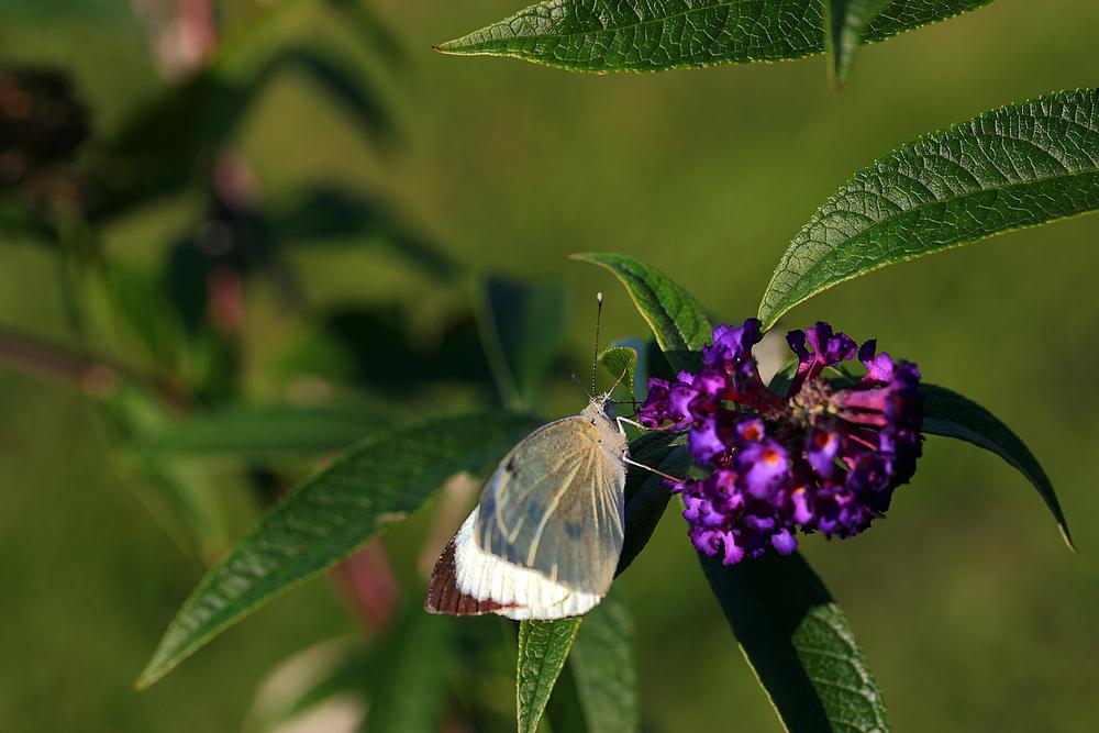 *Schmetterlingsflieder* 12092014