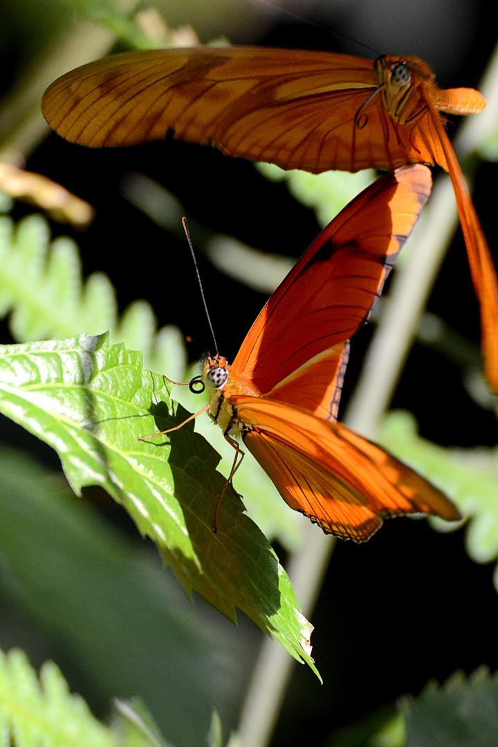 Schmetterlingsflirt