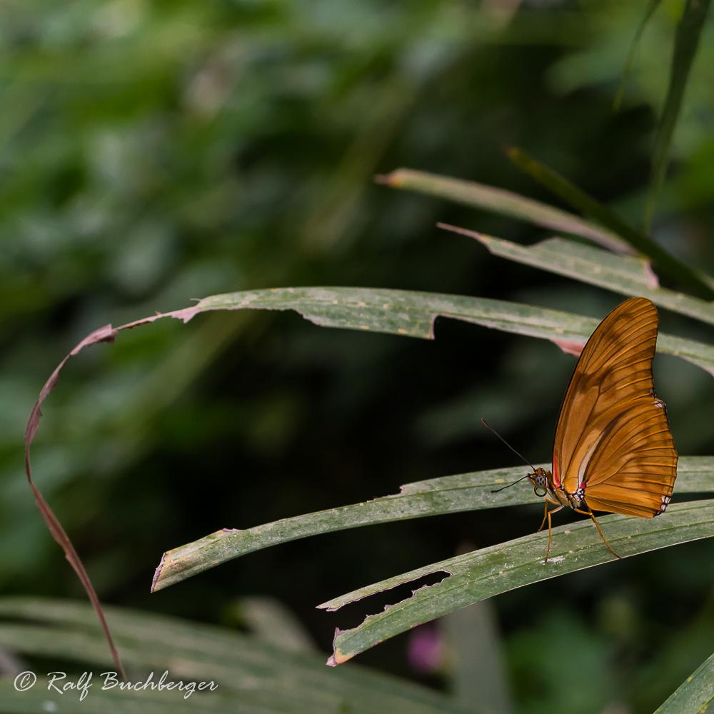 Schmetterlingsgarten Bendorf-Sayn, Flammenfalter