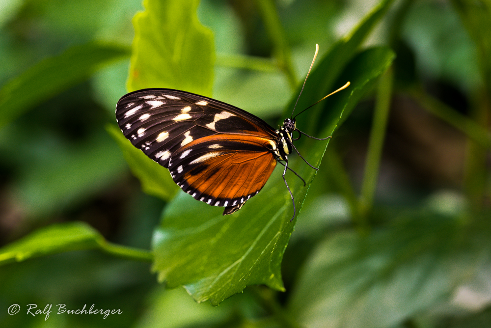 Schmetterlingsgarten Bendorf-Sayn, Tiger-Passionsfalter