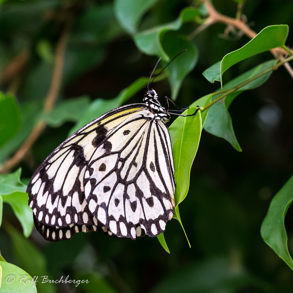 Schmetterlingsgarten Bendorf-Sayn, Weiße Baumnymphe