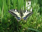 Schmetterlingsgeburt 2
