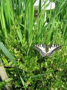 Schmetterlingsgeburt bei uns im Garten