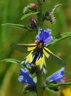Schmetterlingshaft (Ascalaphus libelluloides)