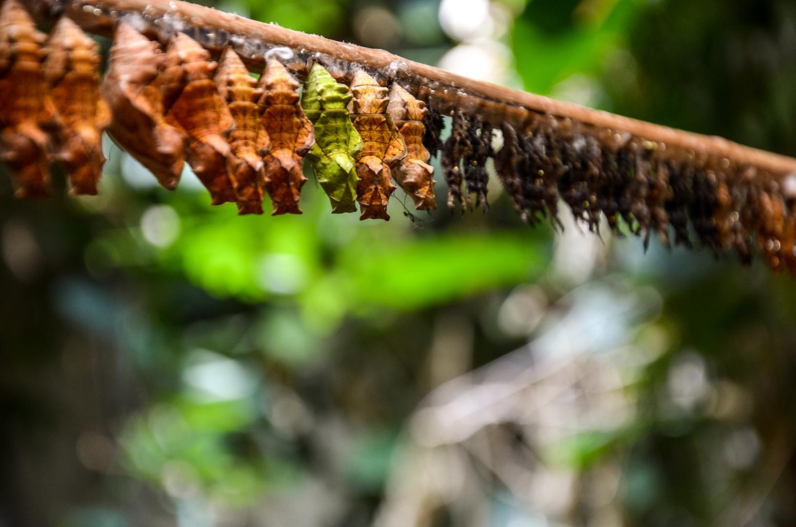 Schmetterlingskokons