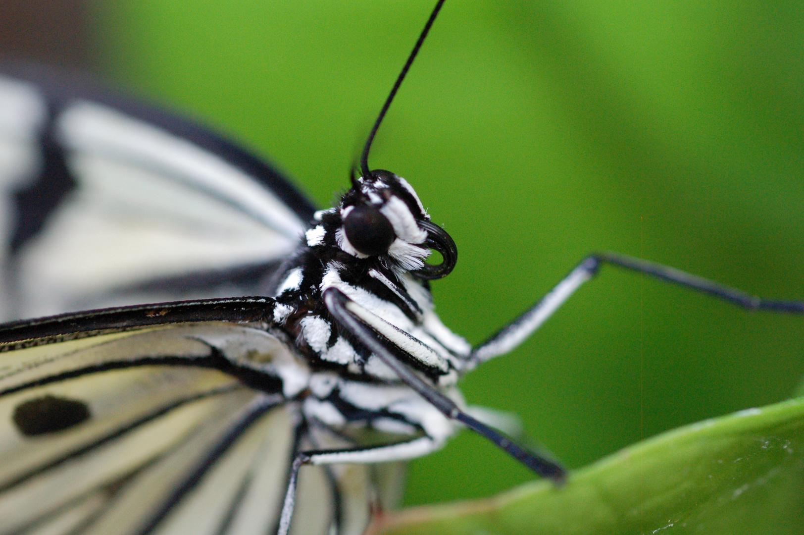 Schmetterlingskopf