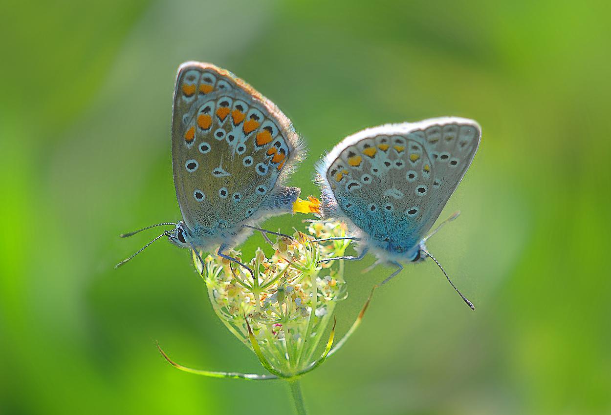 Schmetterlingsliebe