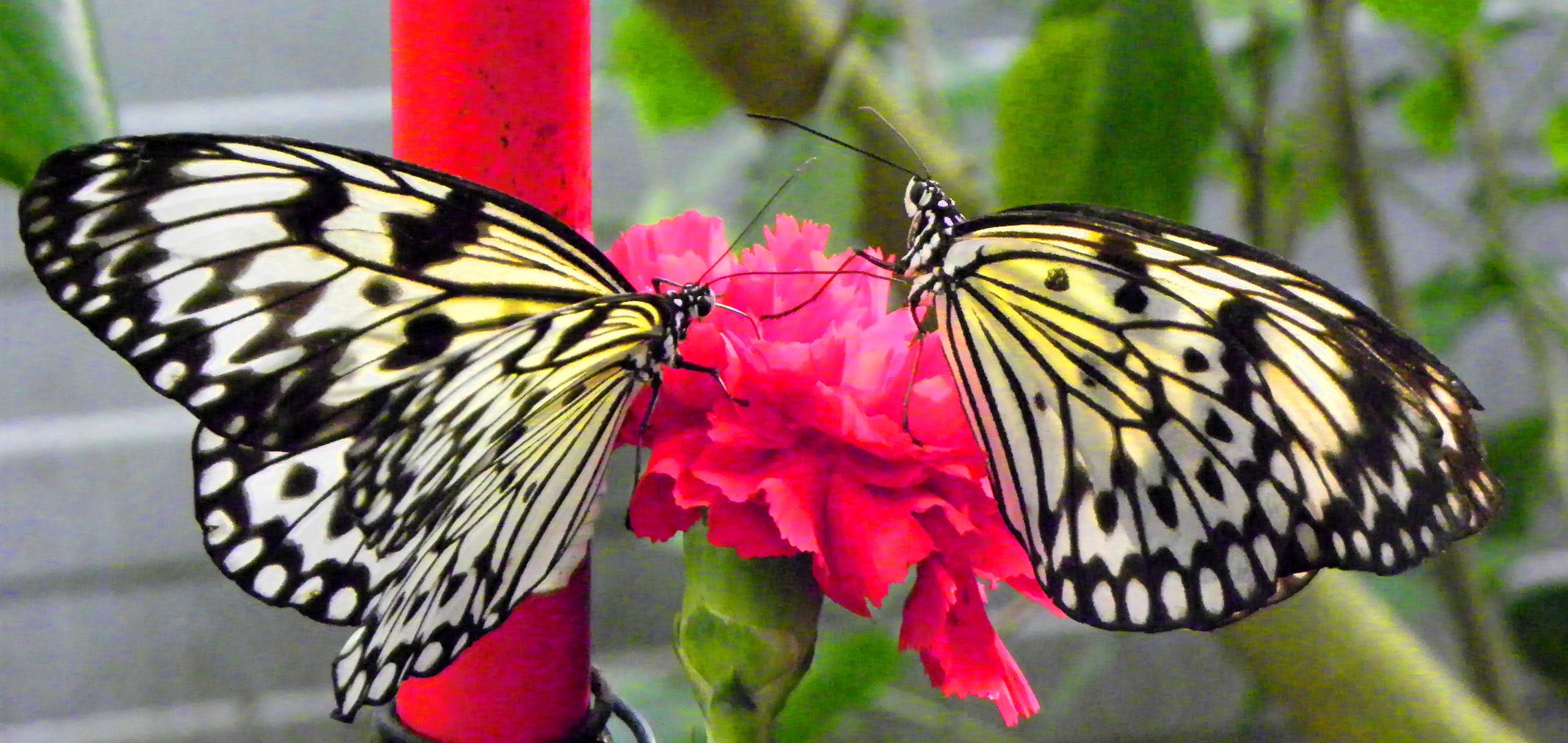 Schmetterlingsliebe 2