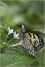 Schmetterlingsmahlzeit
