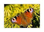 - Schmetterlingsmakro -