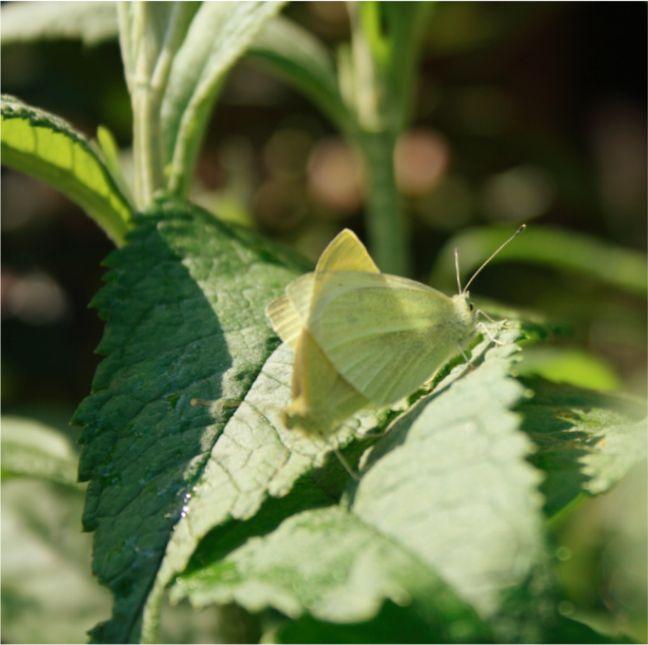 Schmetterlingspaarung