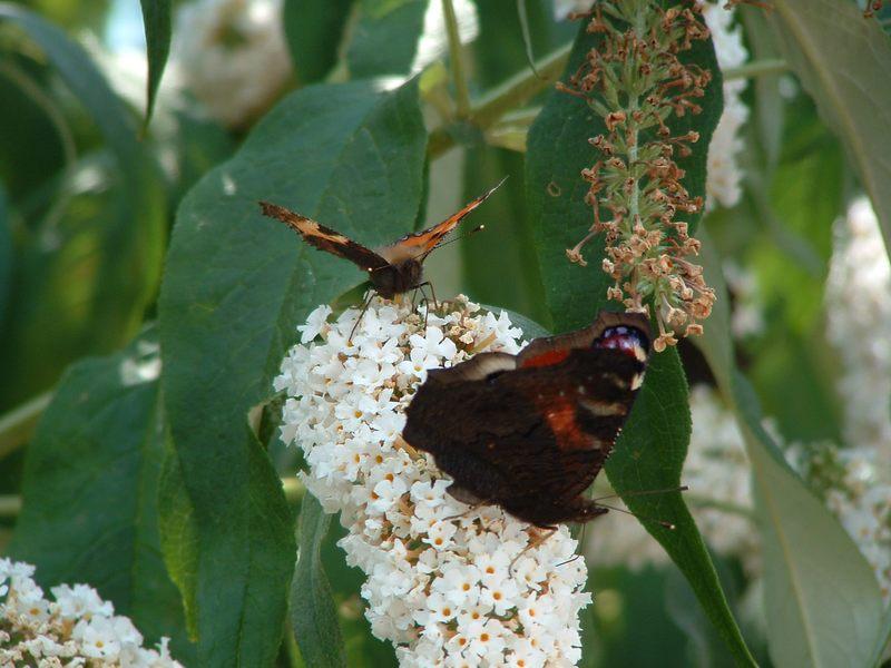 Schmetterlingspärchen am Flieder
