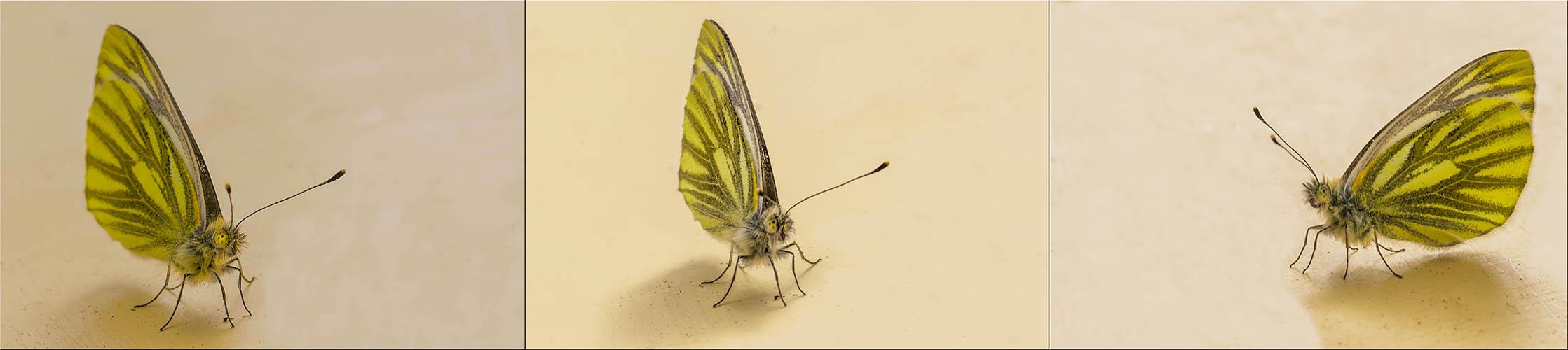 Schmetterlingspano