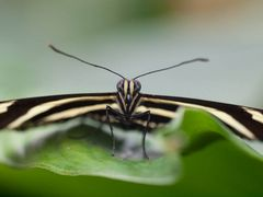Schmetterlingsporträt 02