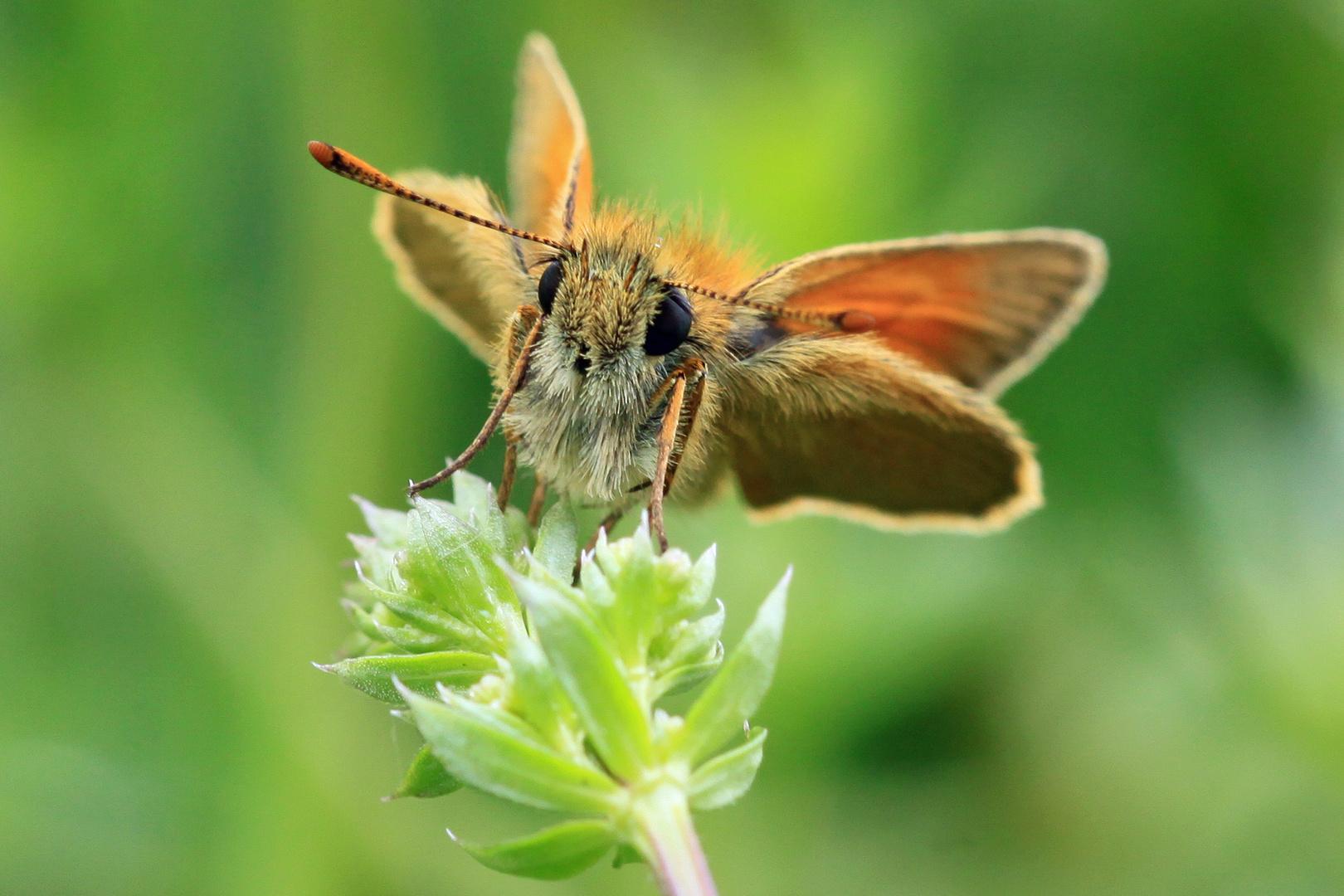 Schmetterlingsportrait