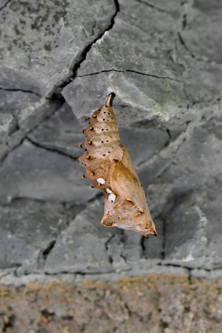 Schmetterlingspuppe  - Großer Fuchs  (Nymphalis polychloros)