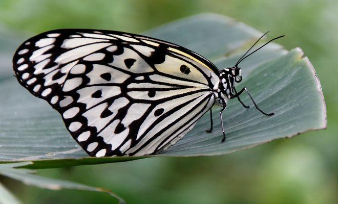 Schmetterlingsrast
