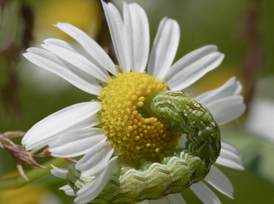 Schmetterlingsraupe auf Margerite