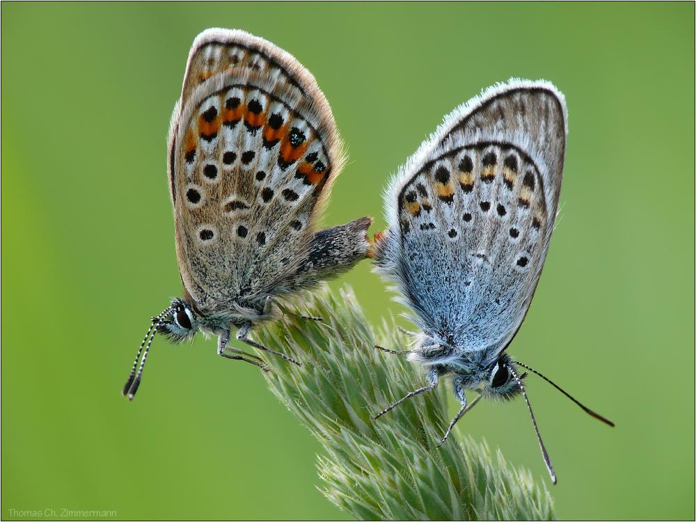 Schmetterlingssex ...